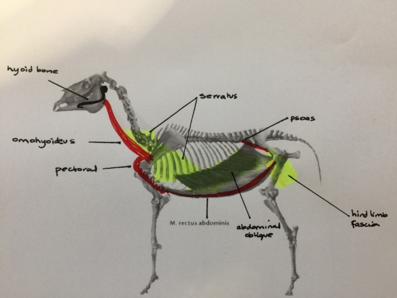 The Anatomy Of Movement Shropshire Veterinary Physiotherapy